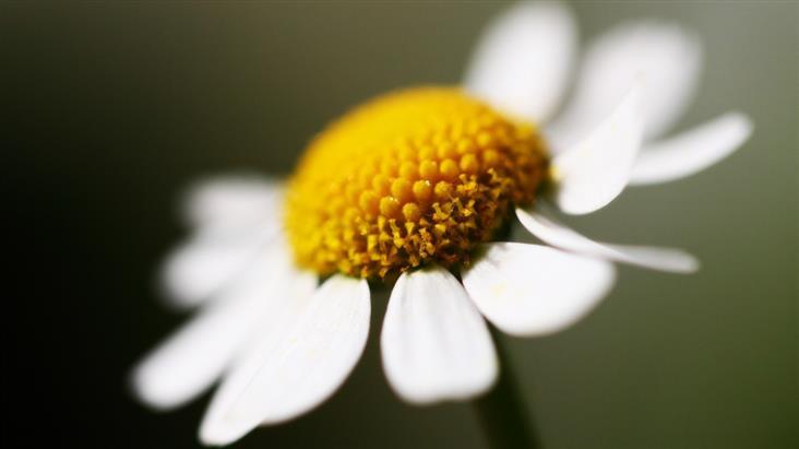 Другое применение цветков ромашки для волос